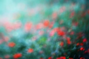 Poppies Dreams - full size