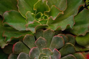 Succulent Beauty with Red tips