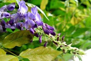 wisteria outdoor
