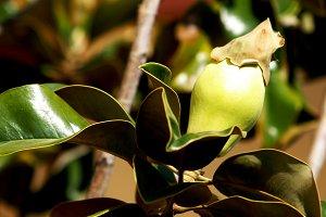 Unopened magnolia