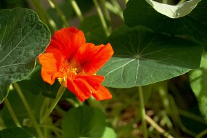 Nasturtium in the meadow