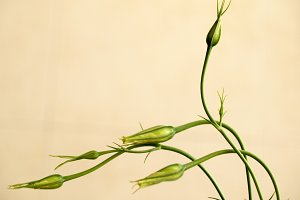 Buds of Chinese Lisianthus, eustoma