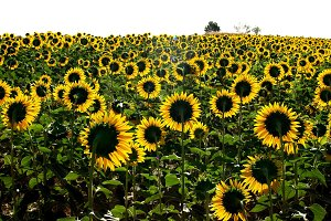 Field of sunflowers outdoors