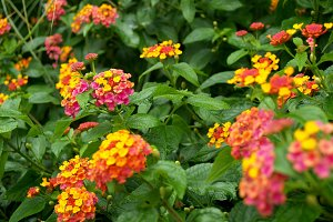Multicolored lantana in full sun
