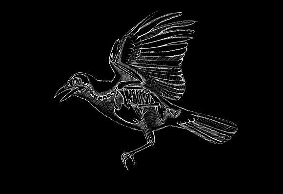 Blackbird's skeleton
