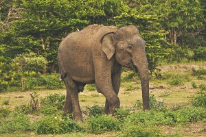 Wild Elephant Sri Lanka