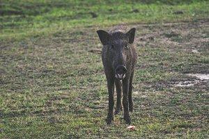 Wild Boar Sri Lanka