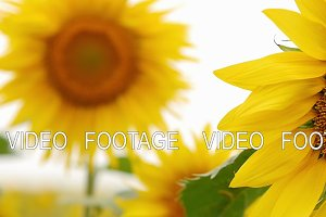 Sunflower closeup in the field 3