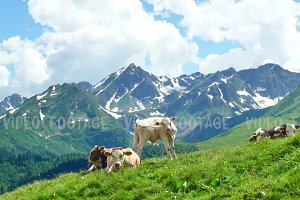 cow herd grazing and lying on hill top on background of High Snowy Mountains and summer clouds
