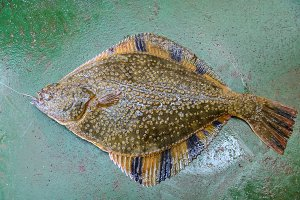 Flounder on the deck. Fishing on the boat. Bottom fish