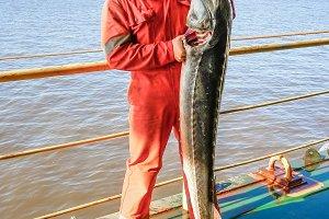 Male sturgeon on the deck. Catching sturgeon and beluga