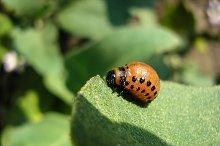 The Colorado beetle sits on a potato leaf and eats
