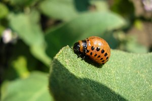 The Colorado beetle sits on a potato leaf and eats