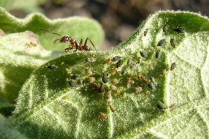 Ant on a piece of plant. Ant will rule the colony of aphids