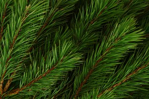 Background of pine branches.