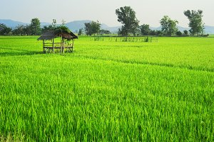Rice field, Thai