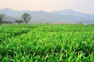 Green rice field, Thailand