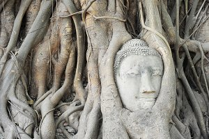 Buddha in tree root