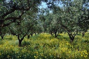 Olive Trees Flowers