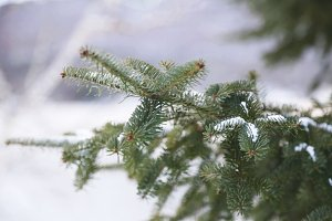Snow Covered Fir Tree