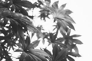 B & W Leaves