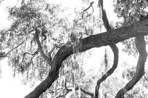 B & W Oak Trees