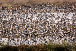 Flock of Birds Flying Near a Marsh