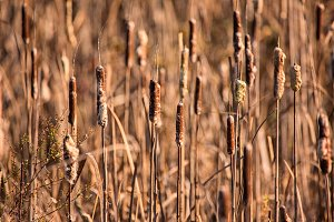 Cattails at a Marsh