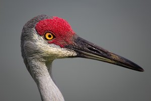 Bird, Sanhill Crane, Day, Florida, USA