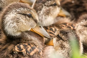 Several Ducklings Huddled Together