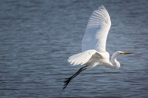 Snowy Egret Flying Over a Lake
