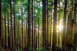 Redwood Forest Landscape