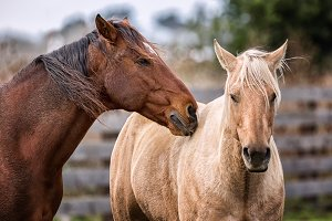 Horses at a Farm in Northern Californa