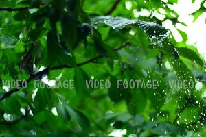 pure rain water is poured on the fresh trees leaves in spring forest, with beautiful bokeh