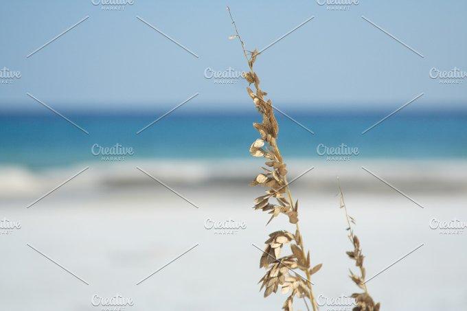 Sea-oats.jpg - Nature