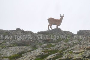 Wild goat staying on top of high mountain rocks and looking to camera. Kavkaz region