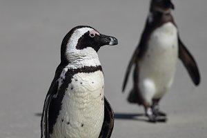 African Penguins (Spheniscus demersu