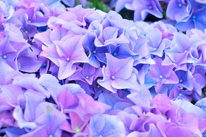violet and blue   hortensia flowers