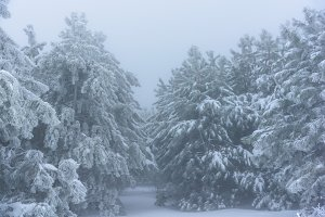 Entrance to the snowy pine forest