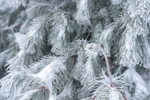 Snowy pine branch close up