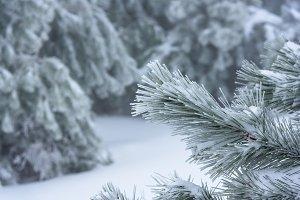 Christmas tree branch close up