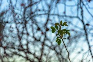 Wild rose branch on blur background