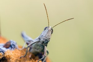 Detail of head white grasshopper