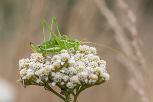 Green grasshopper with white stripe
