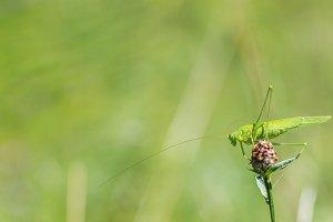 Great green bush-cricket on flower