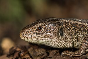 Detail of a head basking sand lizard