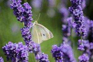 Large White on violet lavender
