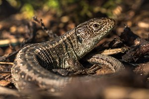 Basking Sand Lizard