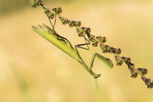 Morning of Mantis religiosa