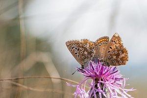 Threesome blue butterflies
